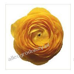 JASKIER ( RANUNCULUS ) ŻÓŁTY peoniowy CEBULKI cebule kwiatowe