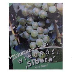 Winorośl SIBERA wiogrono sadzonki ZÓŁTE-ZIELONE