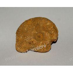 Amonit - piękna, naturalna skamieniałość SKAM07 Kolczyki