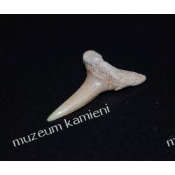Ząb rekina: 65 mln lat - mały SKAM13 Kolczyki