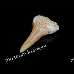 Ząb rekina: 65 mln lat - mały SKAM20 Skamieliny, minerały i muszle