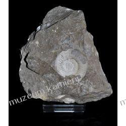Amonit - SKAM05 - piękna, naturalna skamieniałość  Kolczyki