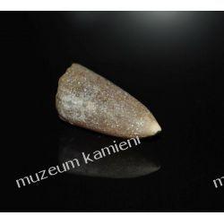 Belemnit SKAM09 - 80 mln lat - Polska skamieniałość Rzeźba