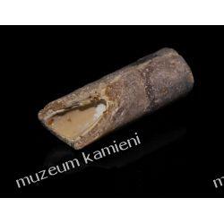 Belemnit SKAM04 - 80 mln lat - skamieniałość skamieliny