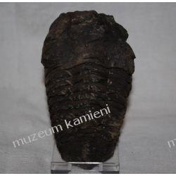 Trylobit - autentyczna skamieniałość SKAM11 Kolekcje