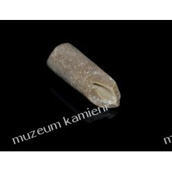 Belemnit SKAM29 - 80 mln lat - skamieniałość Na rękę
