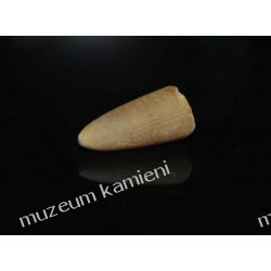 Belemnit SKAM03 skamieliny