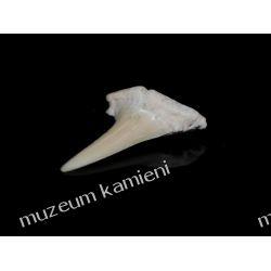Ząb rekina: 65 mln lat - mały SKAM16 Kolczyki