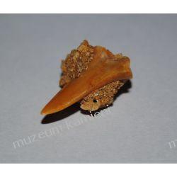 Ząb rekina: 65 mln lat - mały SKAM19 Kolekcje