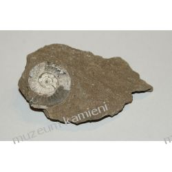 Amonit - piękna, naturalna skamieniałość SKAM08 skamieliny
