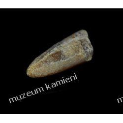 Belemnit SKAM01 - 80 mln lat - skamieniałość skamieliny