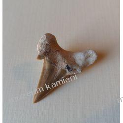 Super skamieniałość! Ząb rekina: 65 mln lat - SKAM21 Pozostałe