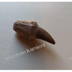 Ząb mozazaura SKAM02 skamieliny