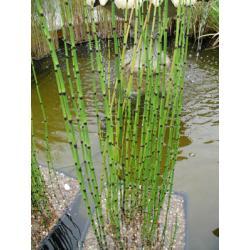 Skrzyp zimowy 10 roślin tylko za 9,99 zł Rośliny pnące