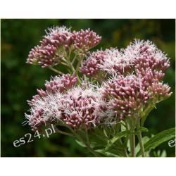 Sadziec konopiasty 10 roślin za 19,99 zł Akcesoria i makiety
