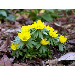 Rannik zimowy zaczyna kwitnąć!!!! Rośliny skalne