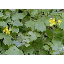 Glistnik jaskółcze ziele-na kurzajki