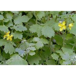 Glistnik jaskółcze ziele-na  brodawki-5 roślin Zdrowie i higiena