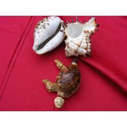 Muszle -żółwik + muszle