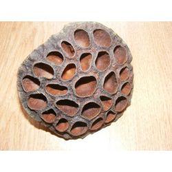 Lotos -duży 10cm Korzenie i ozdoby