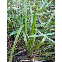Trawa żubrówka -pęk 35szt. Napoje i Akcesoria