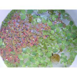 Zestaw roślin pływajacych+ gratis-20 moczarka Torebki miejskie