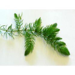 20xROGATEK NISZCZY GLONY,NATLENIA gratis rośliny Pozostałe