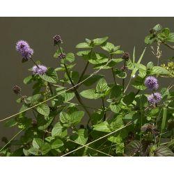 Mięta Nadwodna-10 roślin!