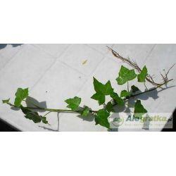 Bluszcz 200 sadzonek Rośliny pnące