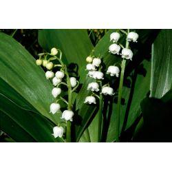 Konwalia majowa 5 roślin za 9,99 zł+ 5szt.GRATIS Rośliny skalne