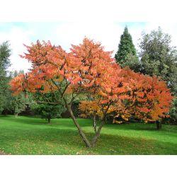 Sumak octowiec piękny i oryginalny !!! Drzewa i krzewy liściaste