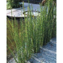 Skrzyp zimowy 40 roślin WYSYŁKA GRATIS!!!!!!! Pozostałe