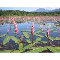 Rdest ziemnowodny-dywan różowych kwiatów Akcesoria