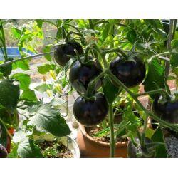 Nasiona czarne pomidory! Nasiona