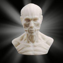 Popiersie anatomiczne Gry