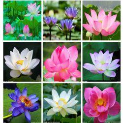 Nasiona Lotosu 20 Sztuk 8 różnych rodzajów LOTOS Rośliny wodne
