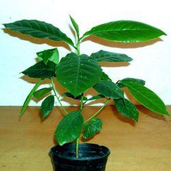 Migdałecznik,ketapang Rośliny pokojowe