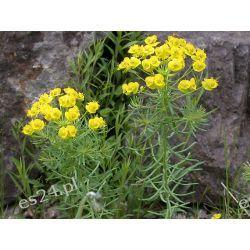 Euphorbia cyparissias-wilczomlecz sosnka Byliny ozdobne