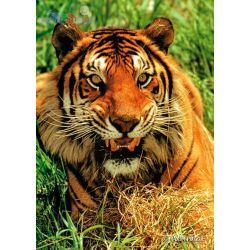Puzzle Maxim Animals 260 elementów - tygrys...