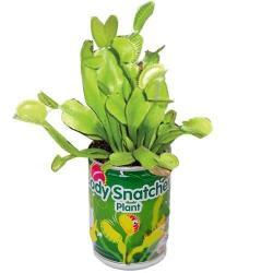 Muchołówka  - mięsożerna roślinka