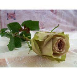 Róża Amnesia 60 cm