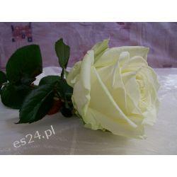 Róża Avalanche Young 60 cm