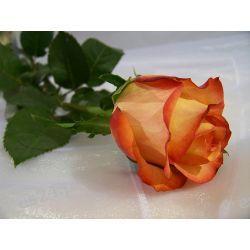 Róża Bermuda 70 cm