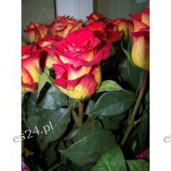 Róża Catch 80 cm