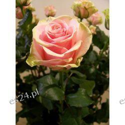 Róża Dancing Queen 90 cm