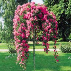 Krzew róży