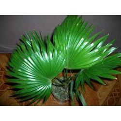 Palma Livistona - Duże rośliny