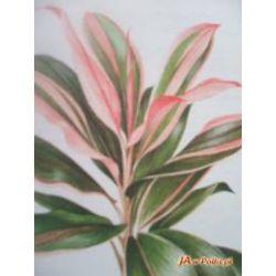Kordylina Cordyline - Duże rośliny