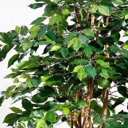 Ficus Benjamina -Monika