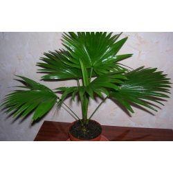 Palma Livistona - Bardzo duże rośliny